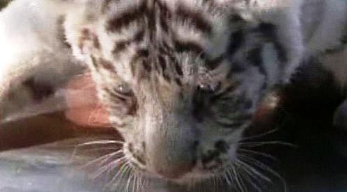 Mládě bílého tygra