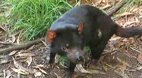 Tasmánští čerti bojují s rakovinou