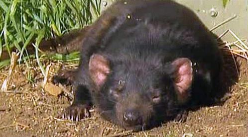 Spící tasmánský čert