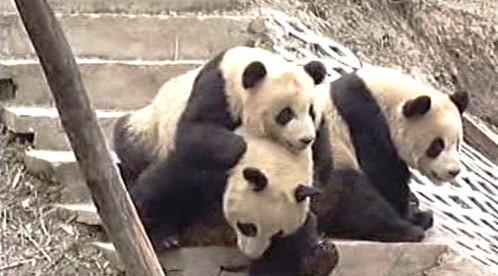 Mláďata pandy