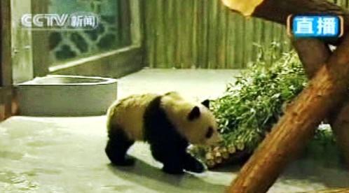 Mládě pandy