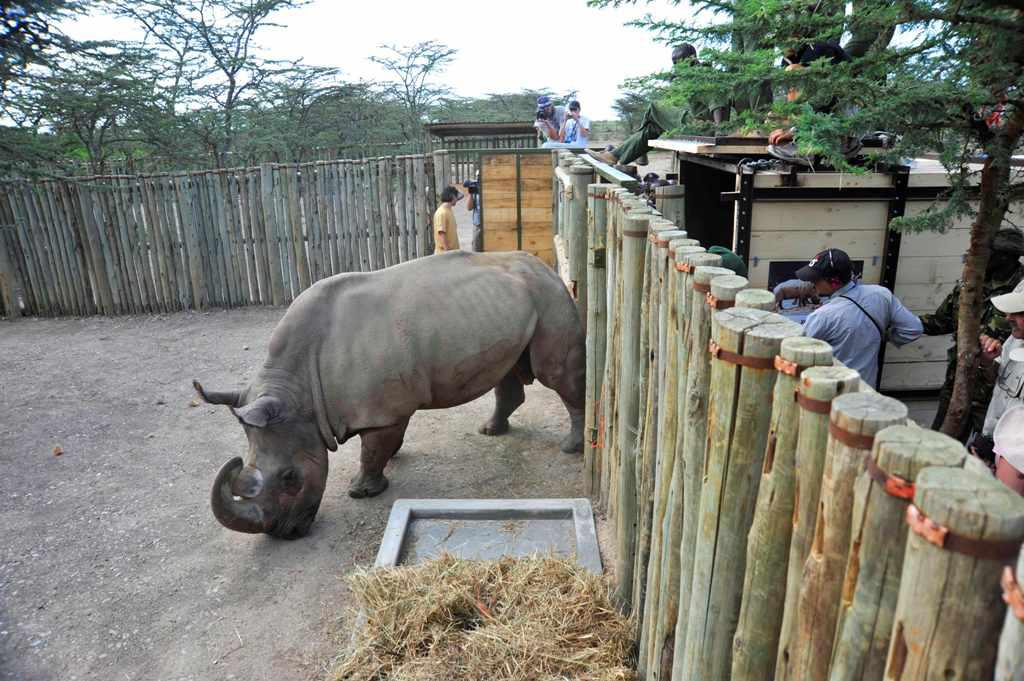 Nosorožec v keňské rezervaci