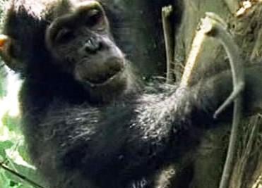 Šimpanz v ohrožení