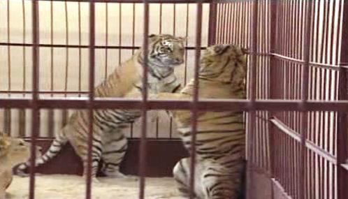 Cirkusoví tygři