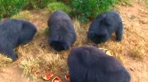 Medvědi pyskatí