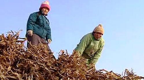Sklízení kukuřice