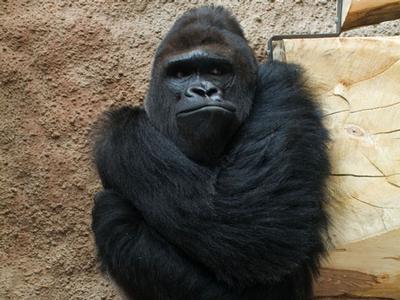 Gorilí samec Richard z projektu Odhalení