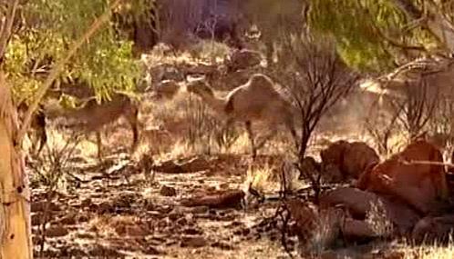 Australští velbloudi
