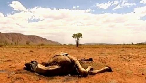 Mrtvý velbloud