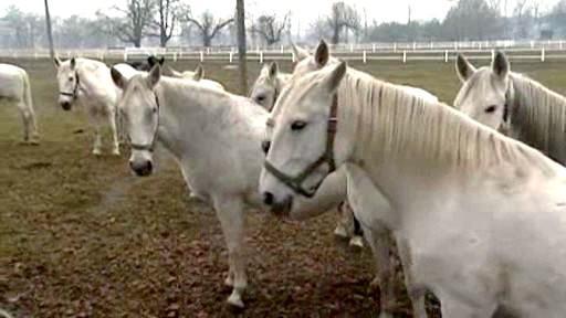 Koně v hřebčíně