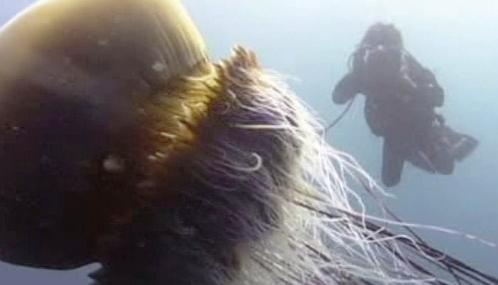 Obří medúza echizen kurage