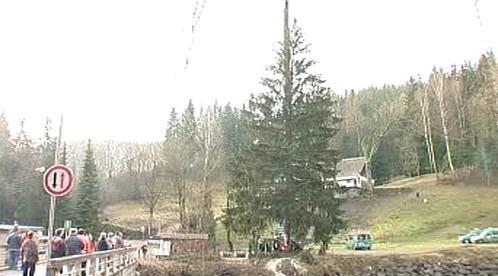 Vánoční strom ještě na břehu Labe