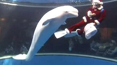 Běluha se směje na Santa Clause