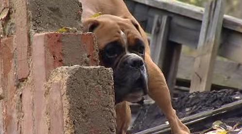 Pes při záchraně