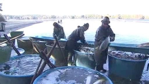 Výlov ryb