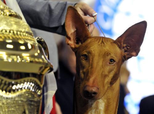 Faraonský pes King