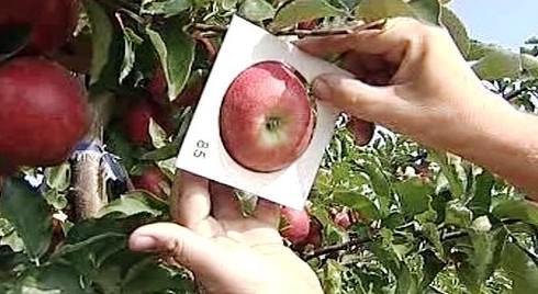 Měření jablek
