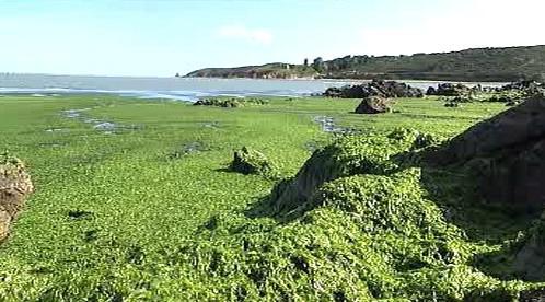 Bretaňské pobřeží pokryté řasami