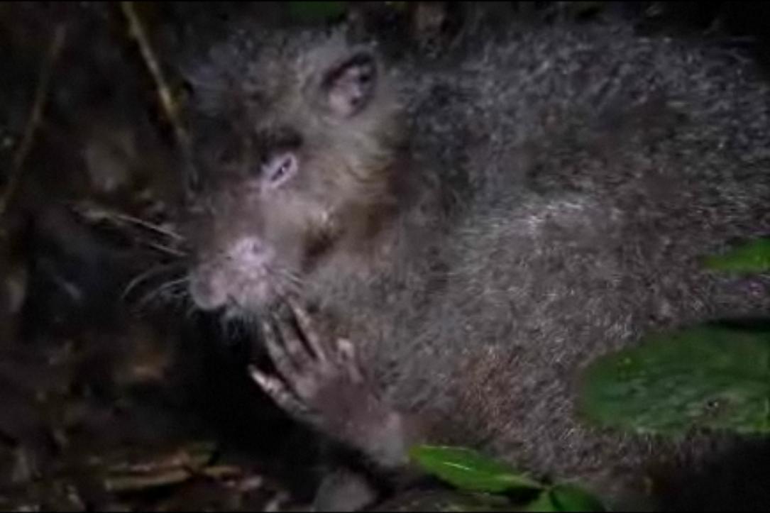 Bosavijská huňatá krysa