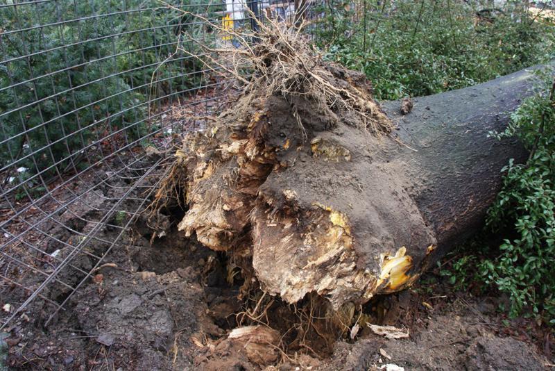 Kořeny spadlého stromu