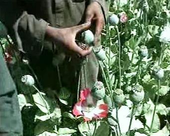 Pěstování máku