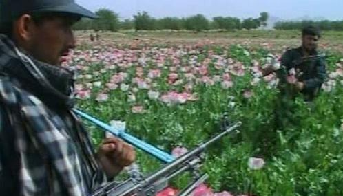 Pěstování máku v Afghánistánu