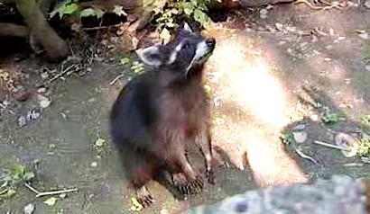 Medvídek mýval