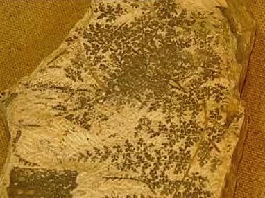 Zkamenělina rostliny