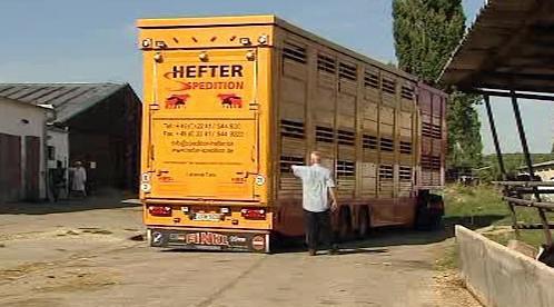 Slovenské krávy odjíždí na ruskou Sibiř