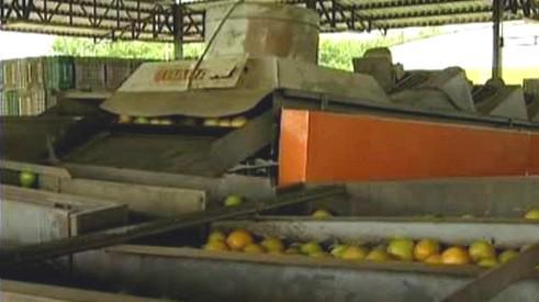 Sklizeň pomerančů