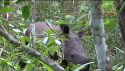 V Ugandě se po 27 letech narodilo mládě nosorožce