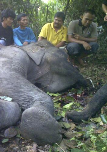 Zabitý slon