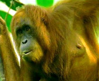 Ohrožený druh primáta