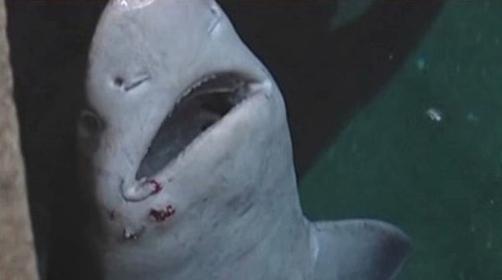 Žralok Cookův