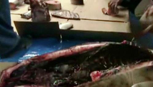 Porcování tuleně