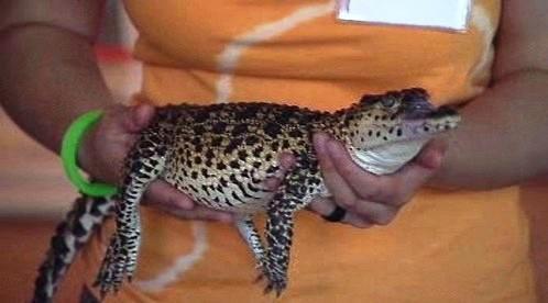 Mládě kubánského krokodýla