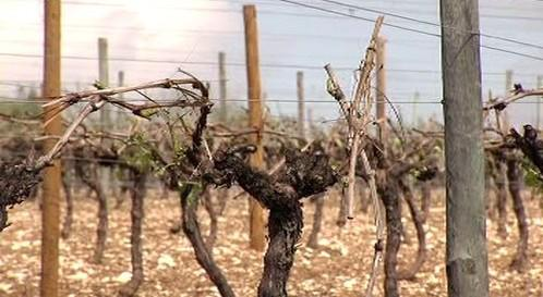 Poničené vinice