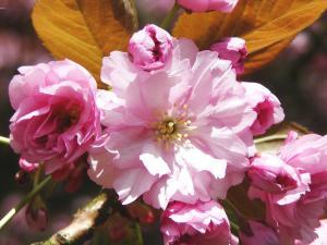 Sakurový květ