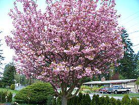 Rozkvetlý strom japonské Sakury
