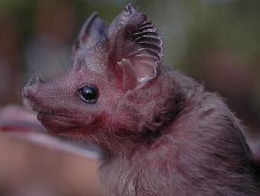 Neznámý druh netopýra