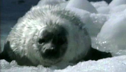 Tuleň