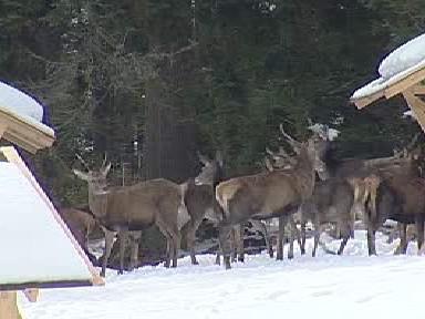 Stádo jelenů a laní u krmelců