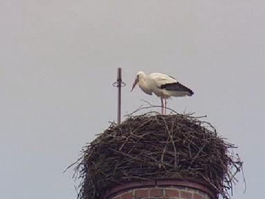 Čáp připravuje hnízdo