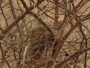 Hnízdo ťuhýka obecného
