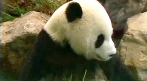 Čínská panda