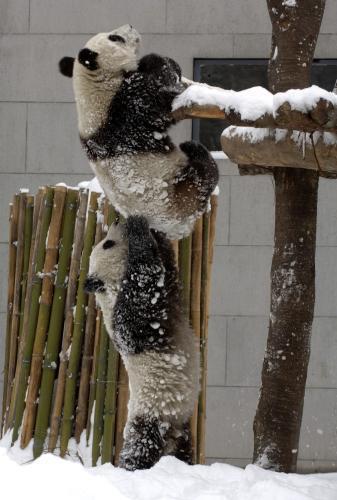Čínské pandy