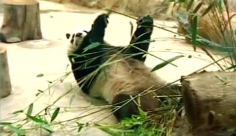 Čínské pandy na Tchaj-wanu