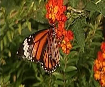 Motýl v Indii