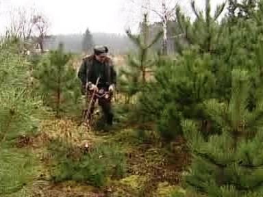 Řezání vánočních stromků