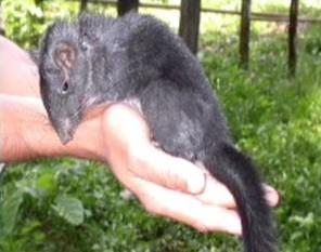 Laoská krysa, která měla vyhynout před miliony let